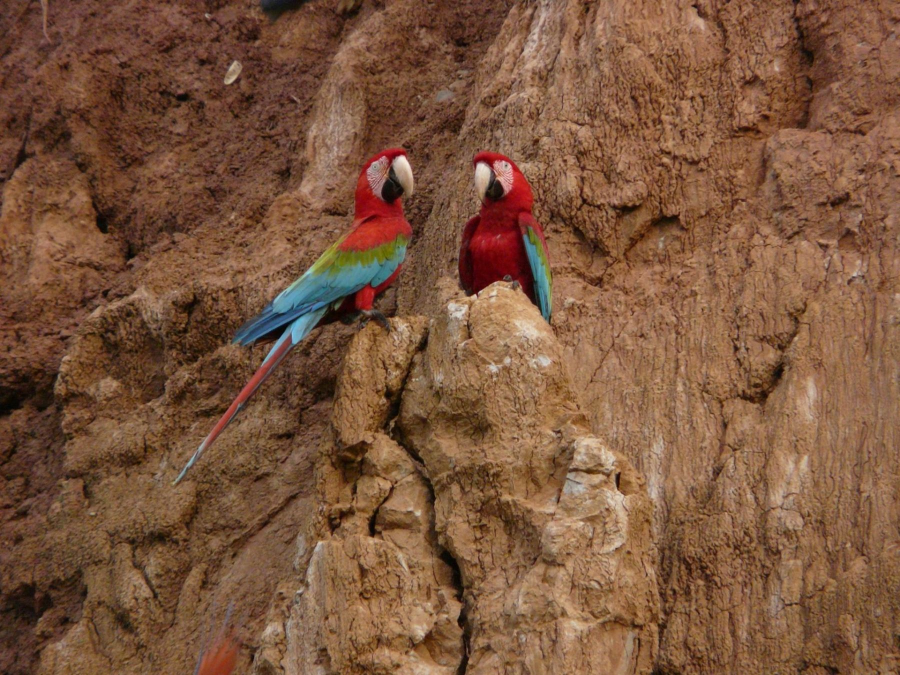 Macaws in Tambopata Amazon