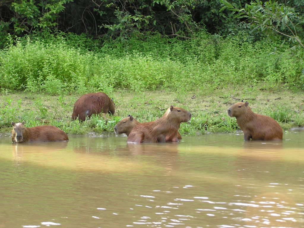 Capybaras in Madidi river
