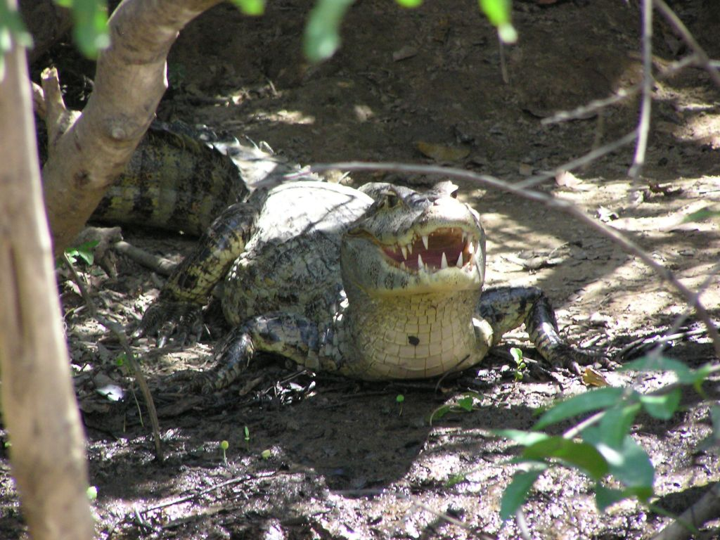 Caiman in Madidi rainforest