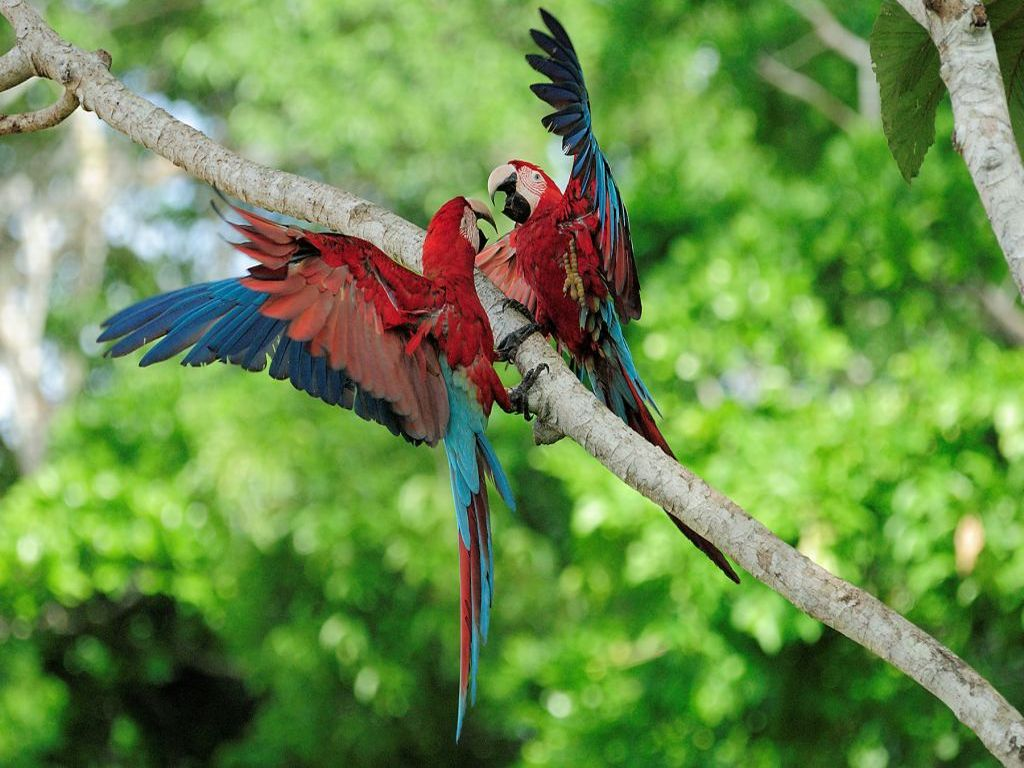 Macaws in Manu Amazon