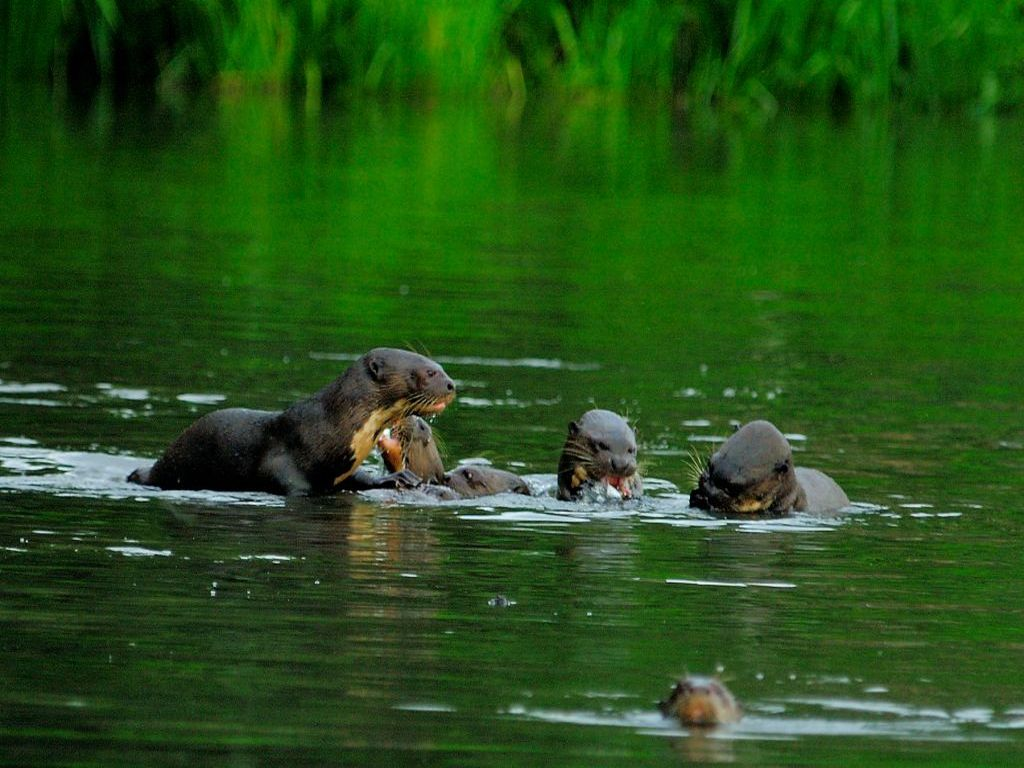 Otters in Manu Amazon tour