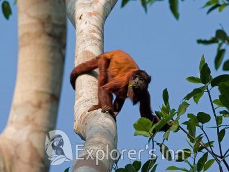 Howler Monkey in Tambopata