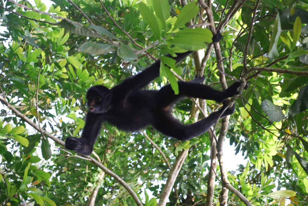 Spider monkey in Manu tour
