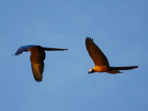 Macaws in Madidi Amazon